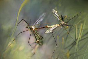 יתושים בטבע - תמונה להמחשה